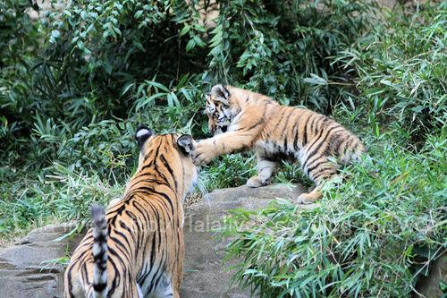 Tiger2010101819