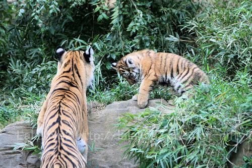 Tiger2010101820