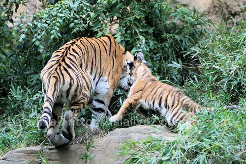 Tiger2010101821
