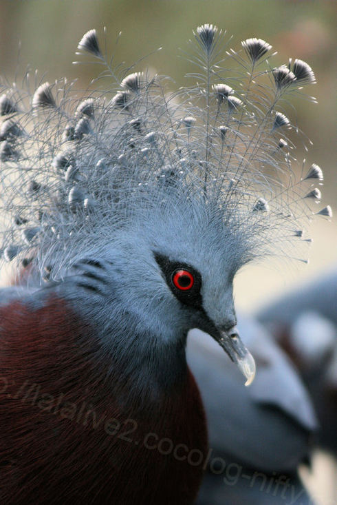 Victria_crown_pigeon20101028