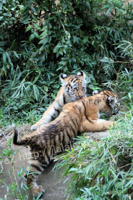 Tiger2010101822