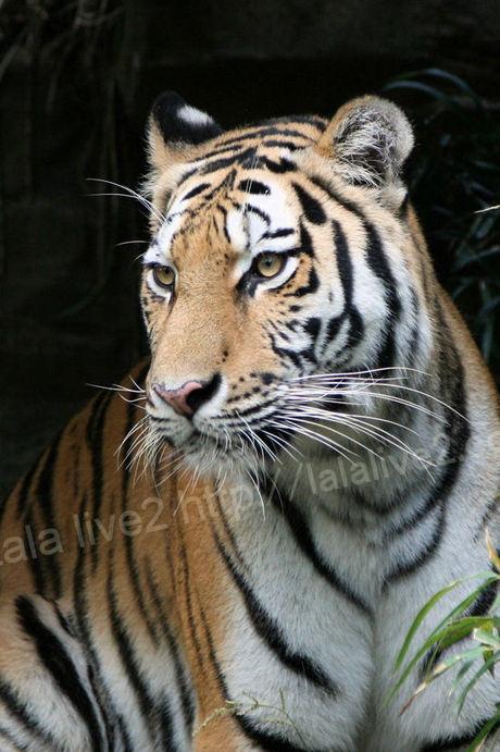 Tiger201010183