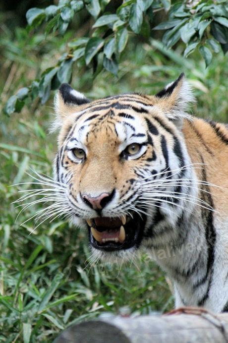 Tiger201010184