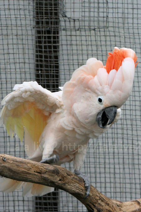 Salmoncrestedcockatoo201010283