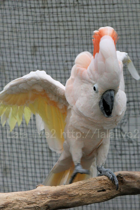 Salmoncrestedcockatoo201010285