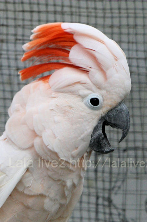Salmoncrestedcockatoo201010286