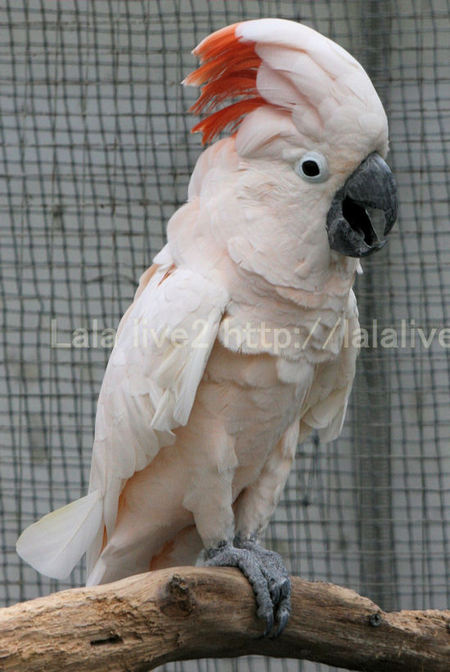 Salmoncrestedcockatoo201010287_2