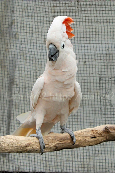 Salmoncrestedcockatoo201010288