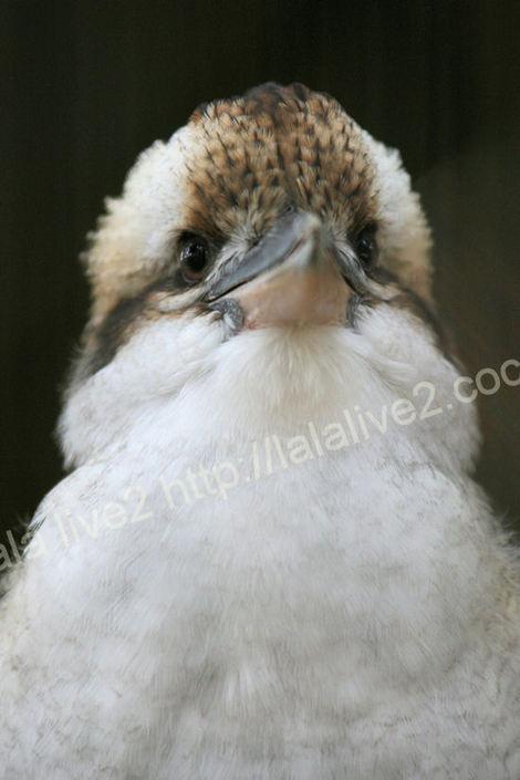Kookaburra201010181