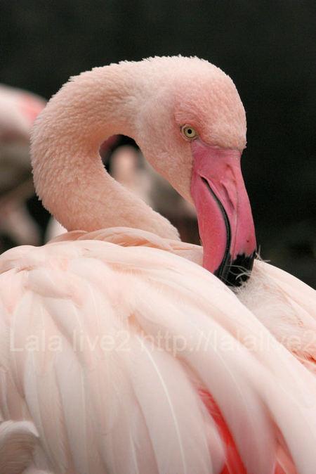 Flamingo201010281