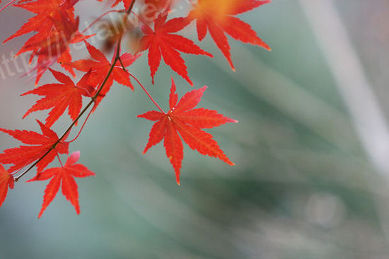 Autumnleaves20101207