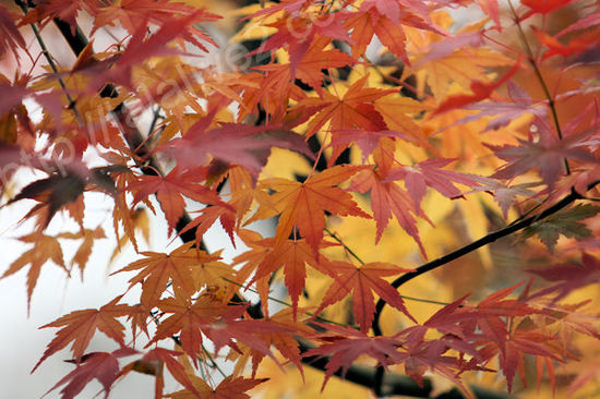 Autumnleaves201012071