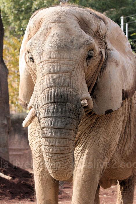 Africanelephant20101207