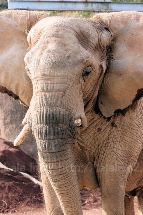 Africanelephant201012071