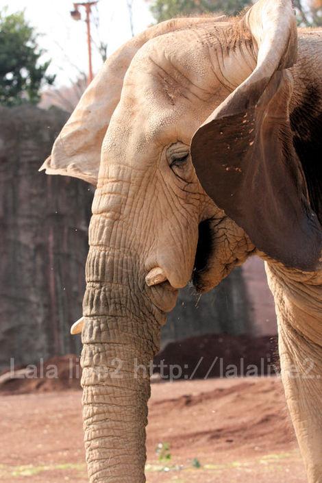 Africanelephant201012074