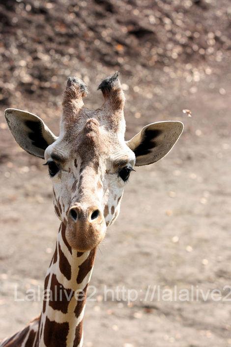 Giraffe20101207
