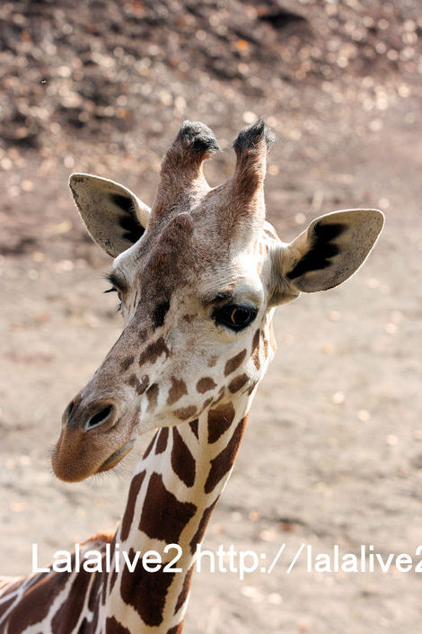 Giraffe201012071