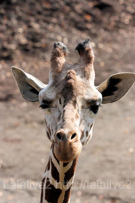 Giraffe20101207wink1