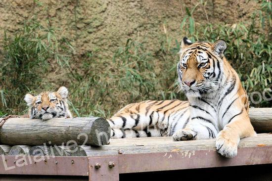 Tigers20101207