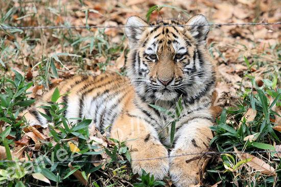 Tigers201012071
