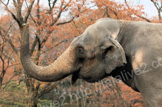 Asianelephant20101207