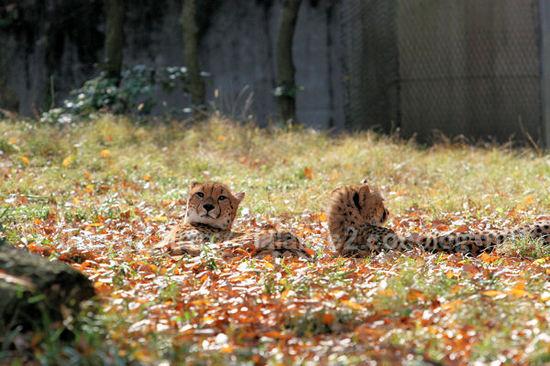 Cheetah201012073
