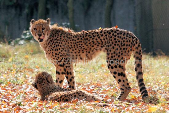 Cheetah201012075