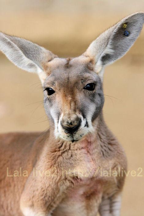 Kangaroo201012072