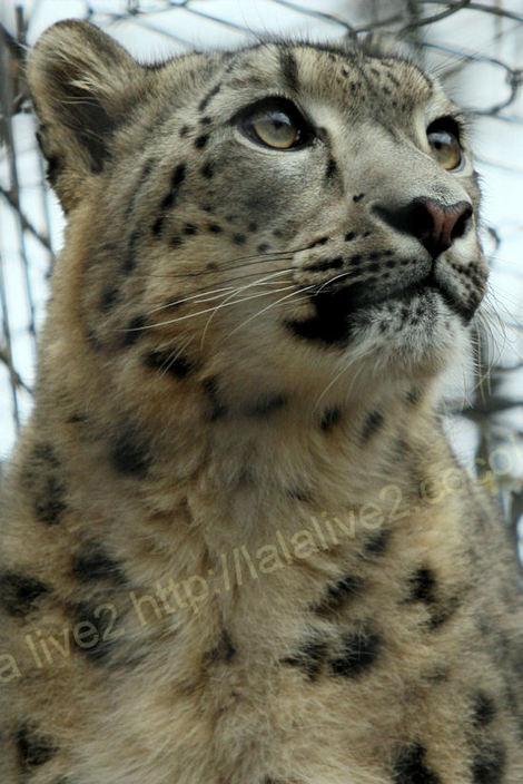 Snowleopard201012071