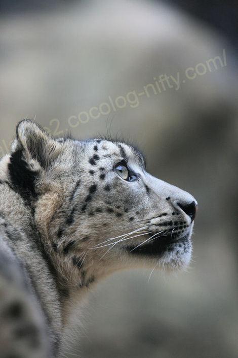 Snowleopard201012073