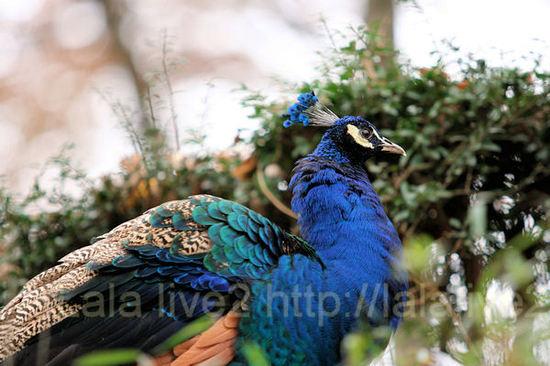 Peacock201012074