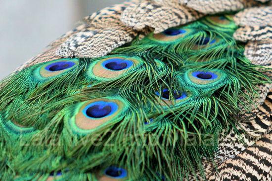Peacock20101207_3