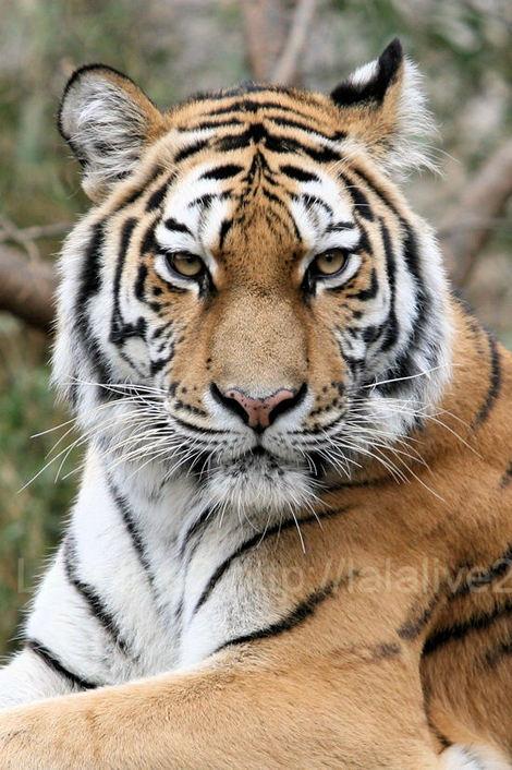 Tiger20101207