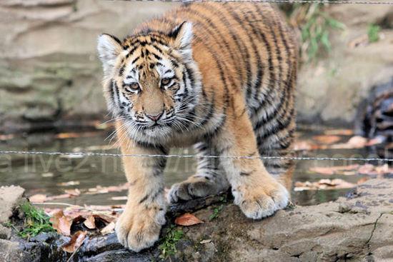 Tiger201012071