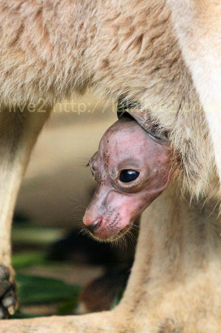 Kangaroo20101207