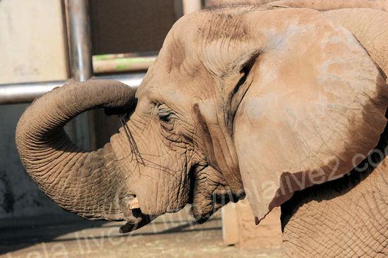 Africanelephant2010120710
