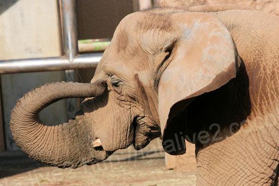 Africanelephant2010120713