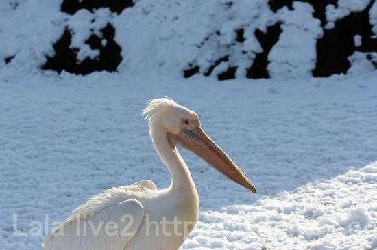 Pelican20110111