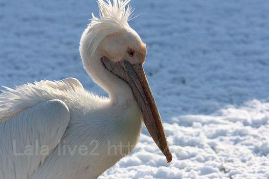 Pelican201101111_2