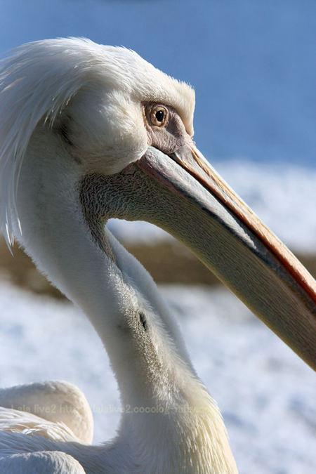 Pelican201101112