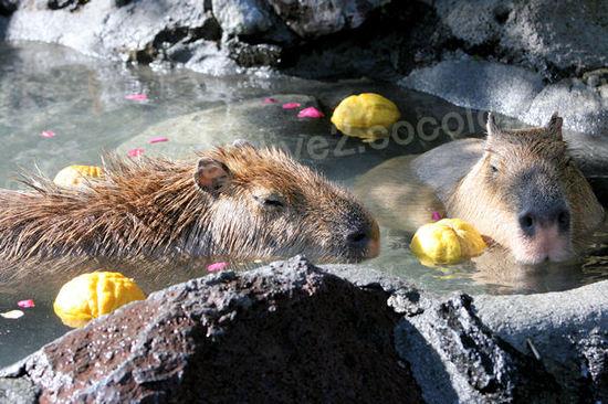 Capybara201101121