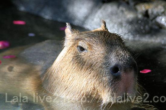 Capybara201101122