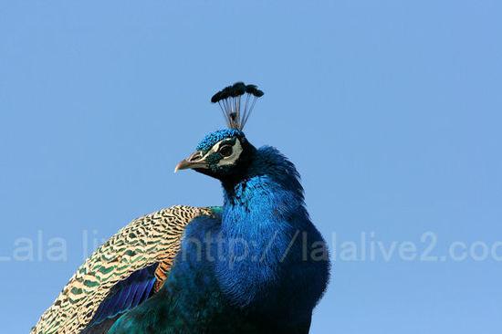 Peacock20110111