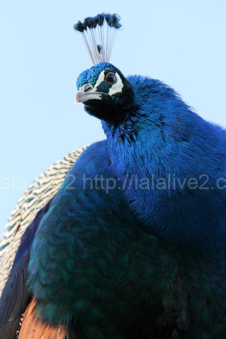 Peacock201101111
