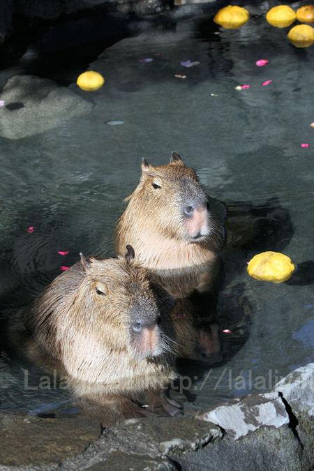 Capybara201101123