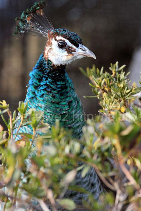 Peacock2011011111
