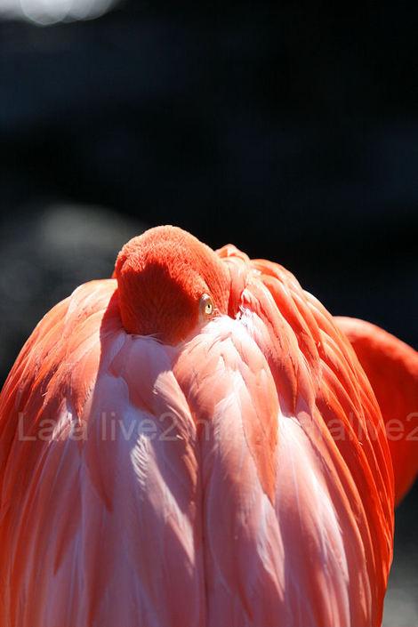 Flamingo20110112