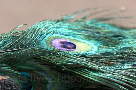 Peacock201101113