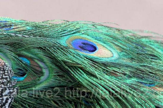 Peacock201101114