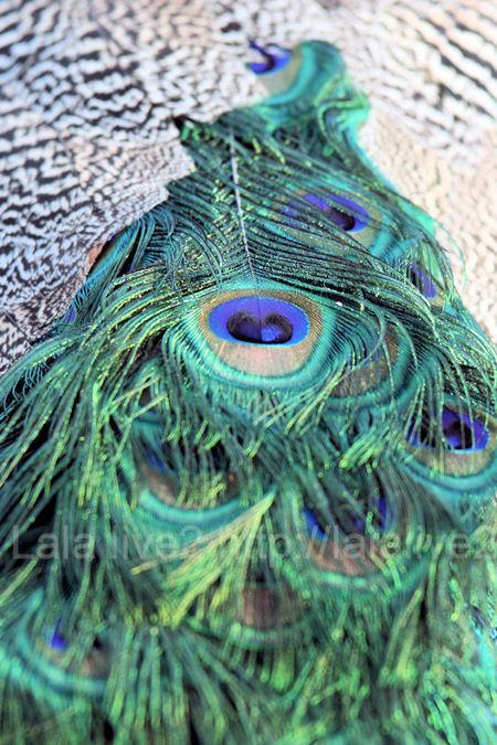 Peacock201101115